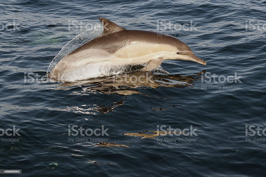 Jumping dolphin. stock photo