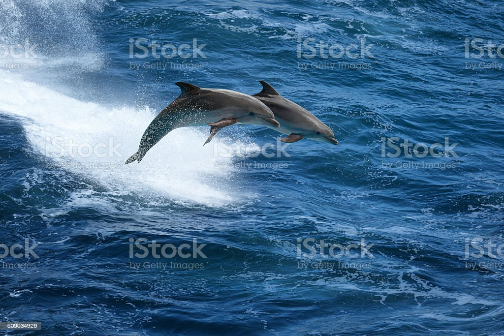 Jumping dolphins in stormy sea stock photo