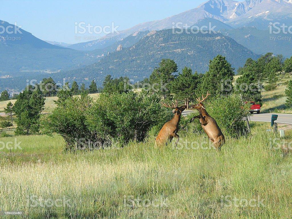 Jumping Elk royalty-free stock photo