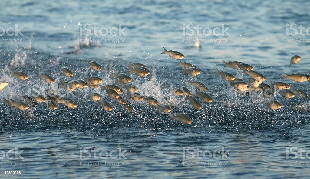 jumping fish stock photo