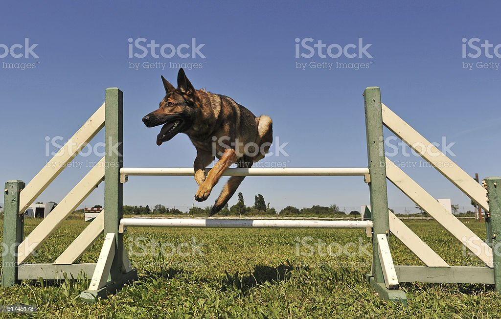 jumping german shepherd royalty-free stock photo