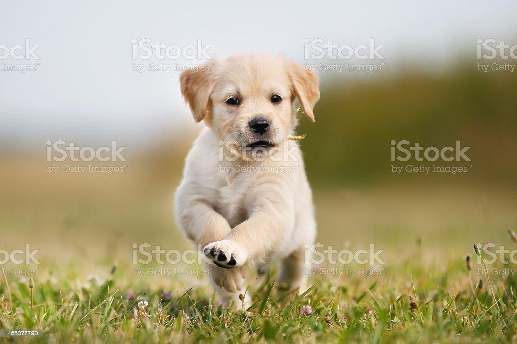 Jumping golden retriever puppy stock photo