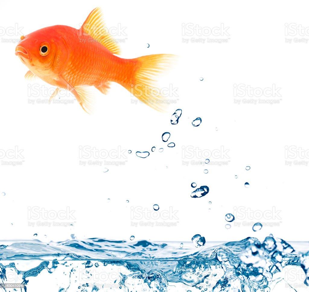 jumping goldfish stock photo