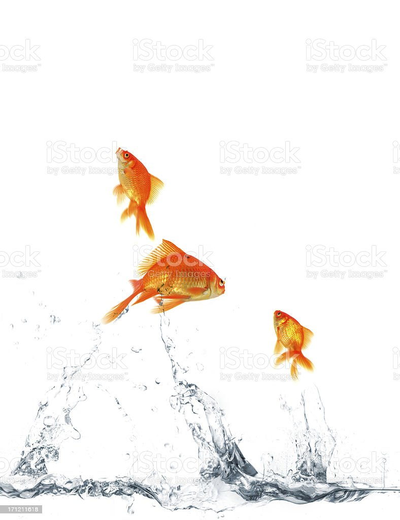 Jumping goldfishes stock photo
