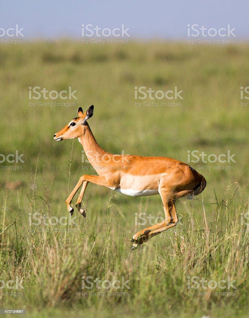 Jumping Impala stock photo