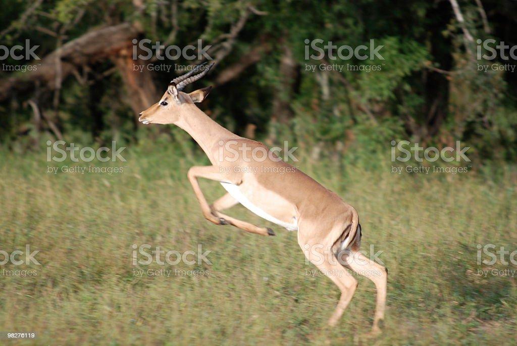 Jumping impala royalty-free stock photo