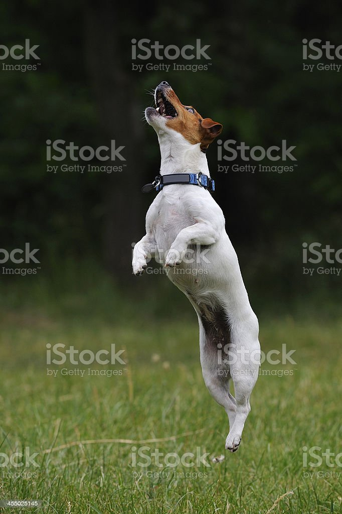 Jumping Jack Russell Terrier dog royalty-free stock photo