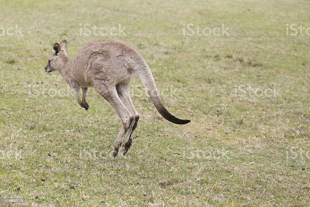 Jumping kangaroo royalty-free stock photo