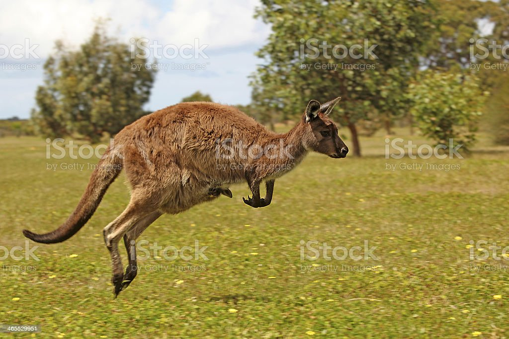 Jumping Kangaroo With Joey on A Grass stock photo