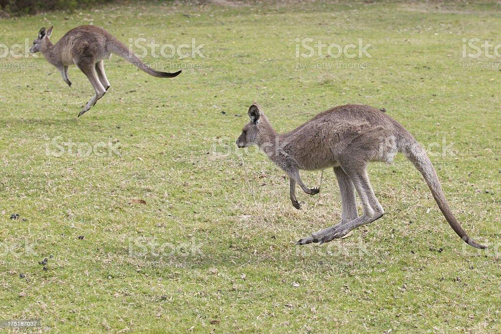 Jumping Kangaroos stock photo