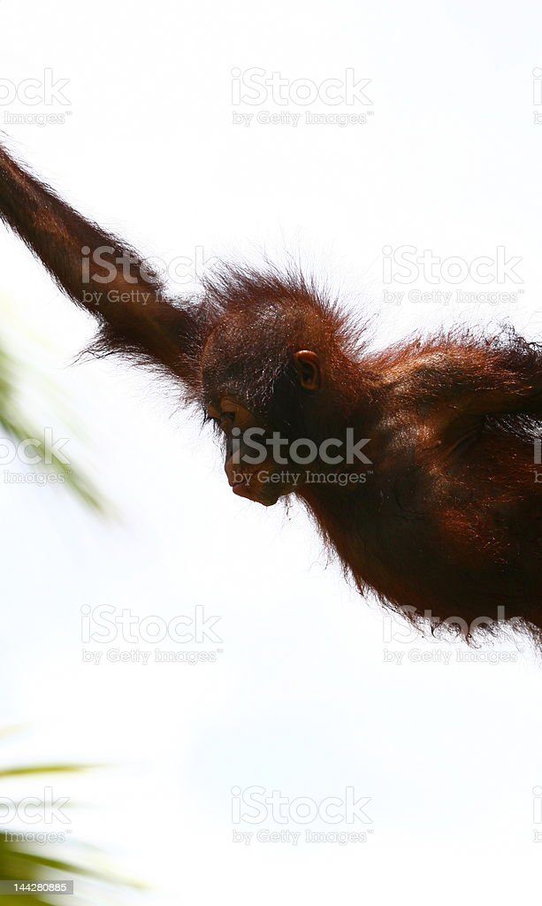 jumping orangutan royalty-free stock photo