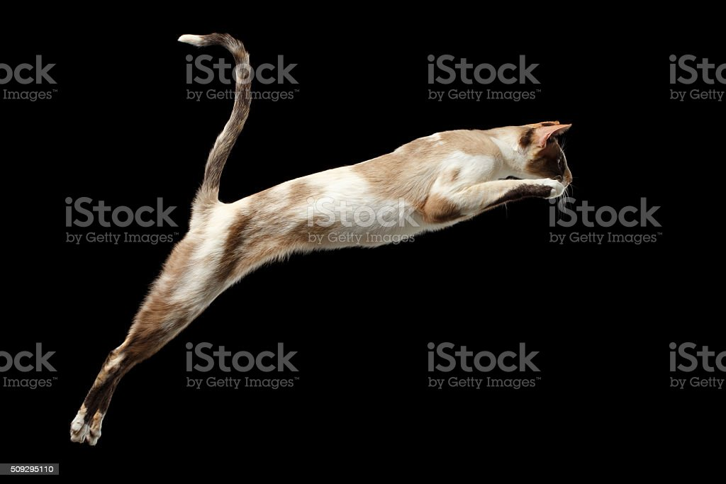 Jumping Oriental cat Isolated on Black stock photo