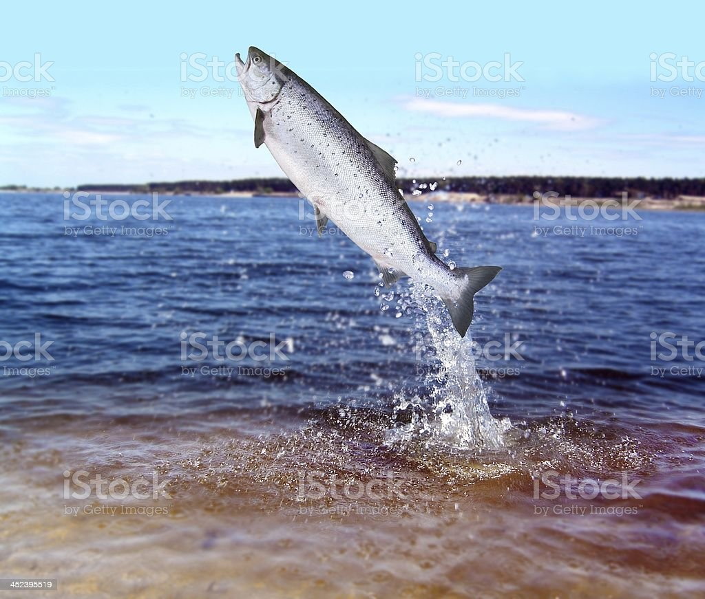 jumping out from water salmon stock photo