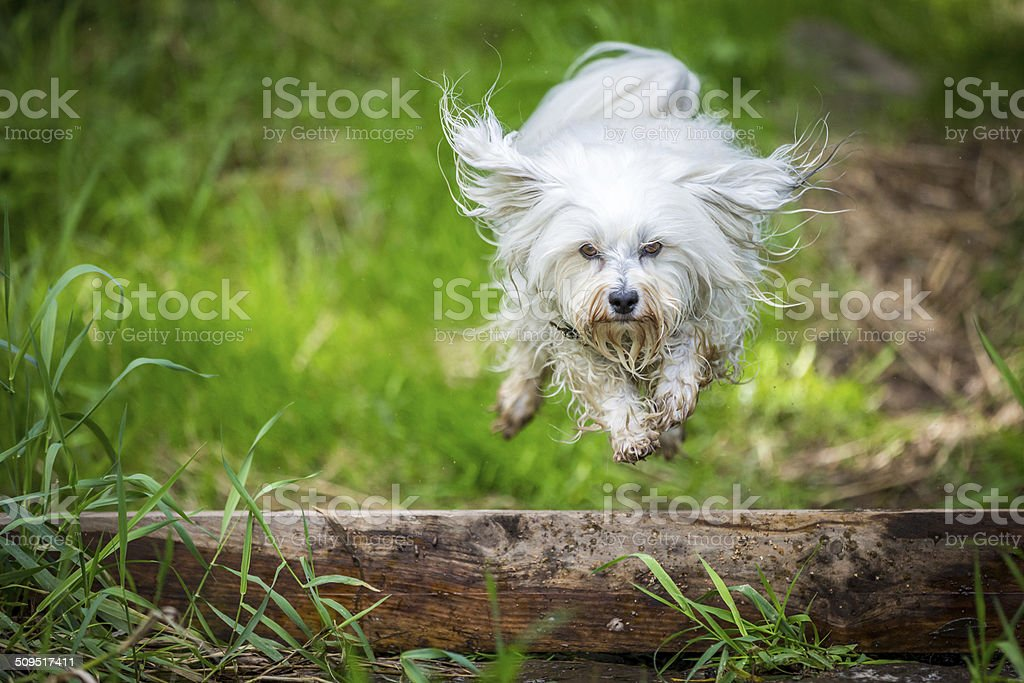 Jumping over a tree trunk stock photo