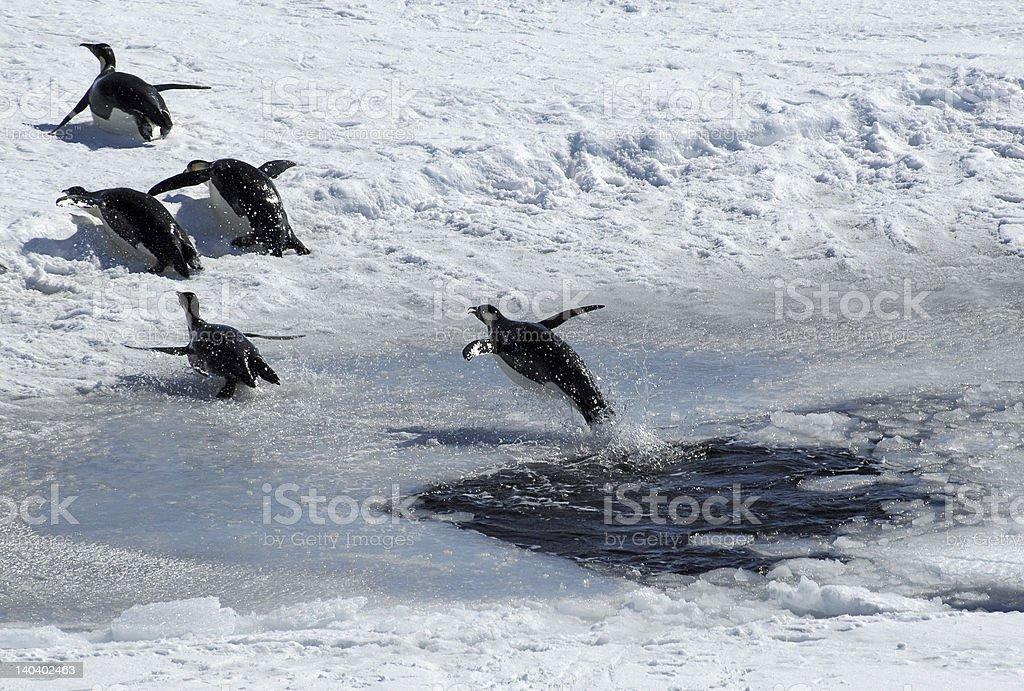 Jumping penguin stock photo