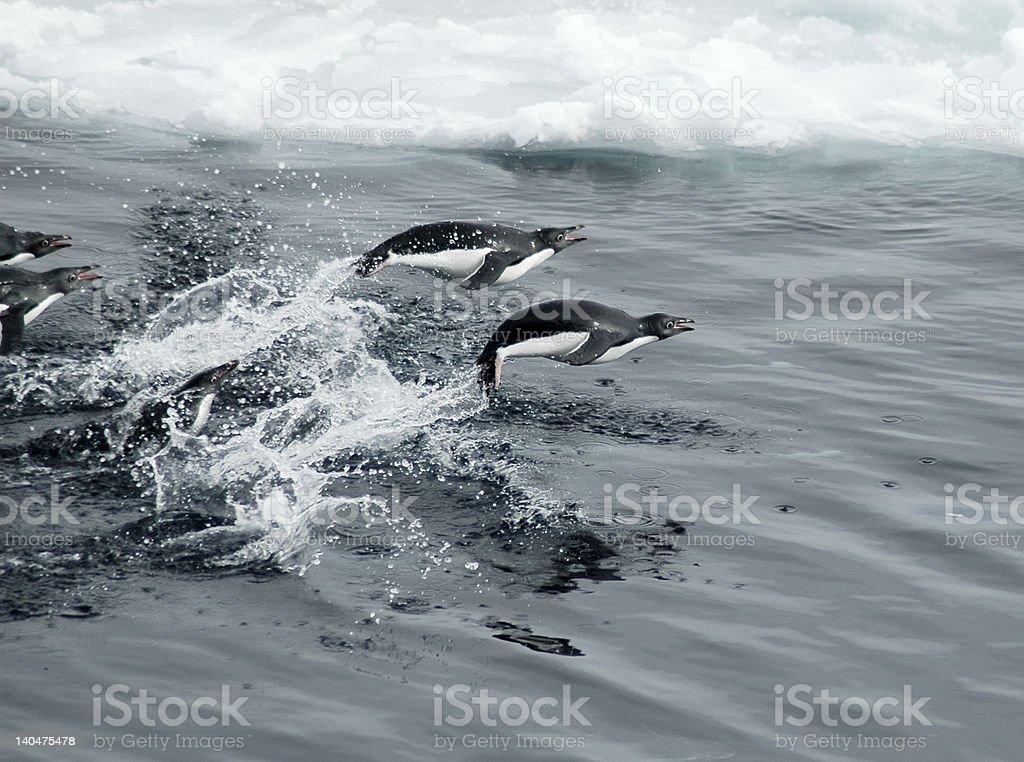 Jumping penguins stock photo