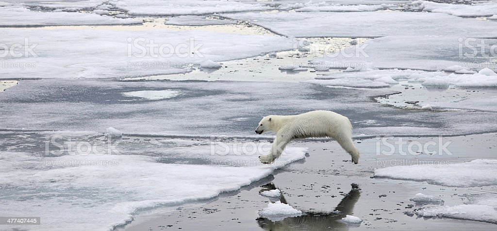 Jumping polar bear stock photo