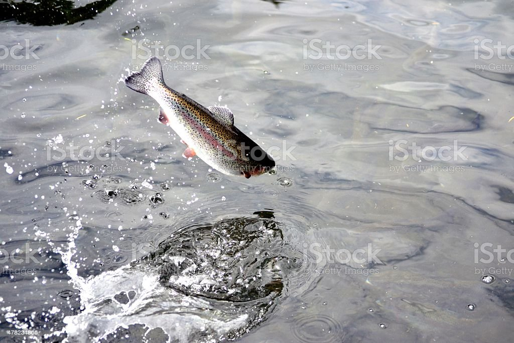 Jumping Rainbow Trout stock photo