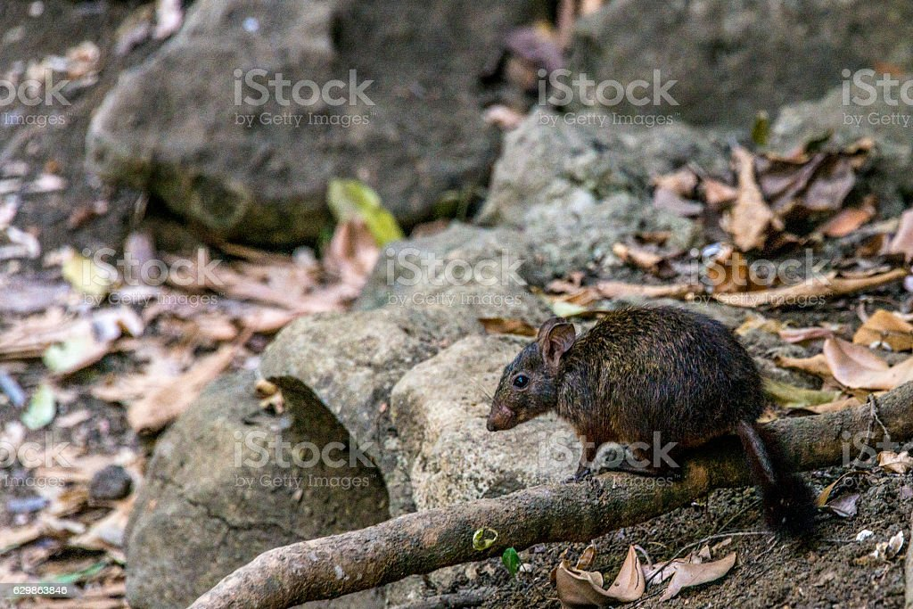 Jumping rat in Madagascar stock photo