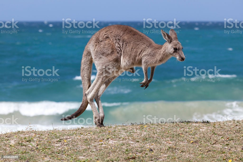 Jumping  Red Kangaroo on the beach,  Australia stock photo