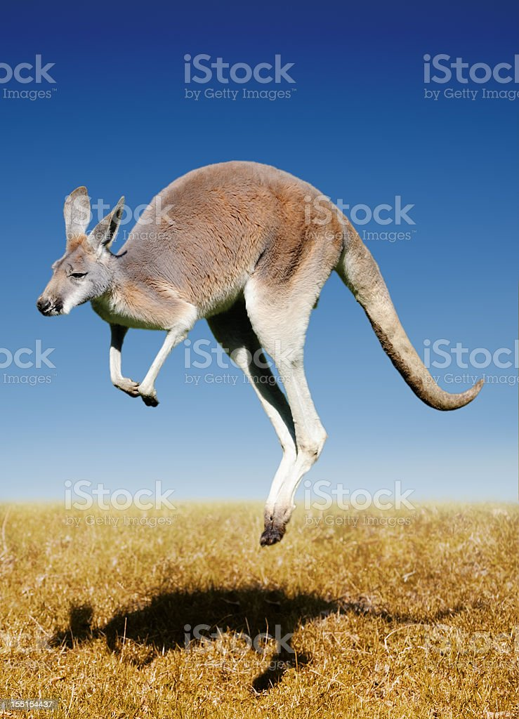jumping red kangaroo stock photo