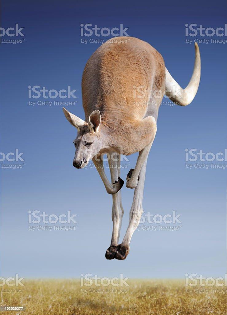 jumping red kangaroo royalty-free stock photo