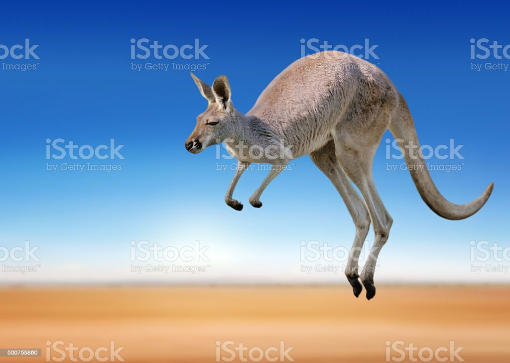 jumping red kangaroo stock photo