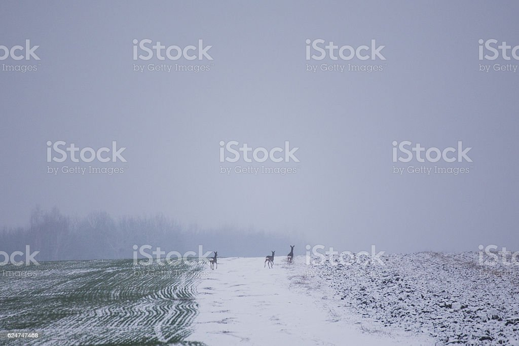 Jumping roe deer on the winter wheat field stock photo