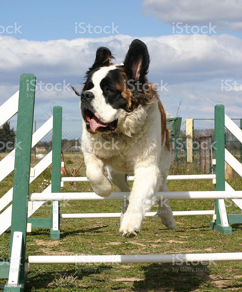 jumping saint bernard royalty-free stock photo