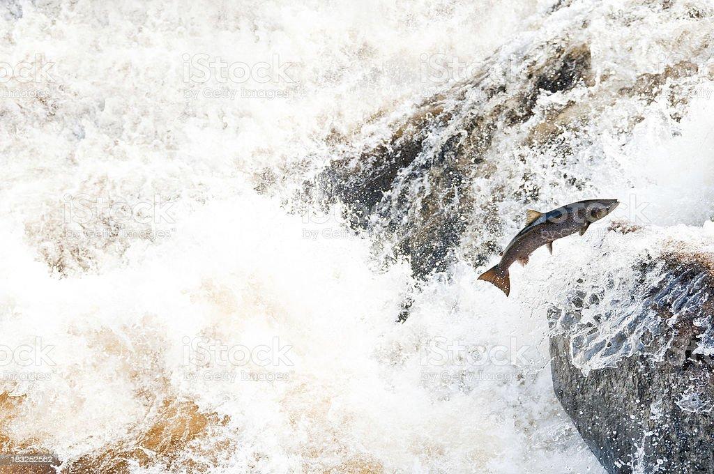 Jumping salmon stock photo