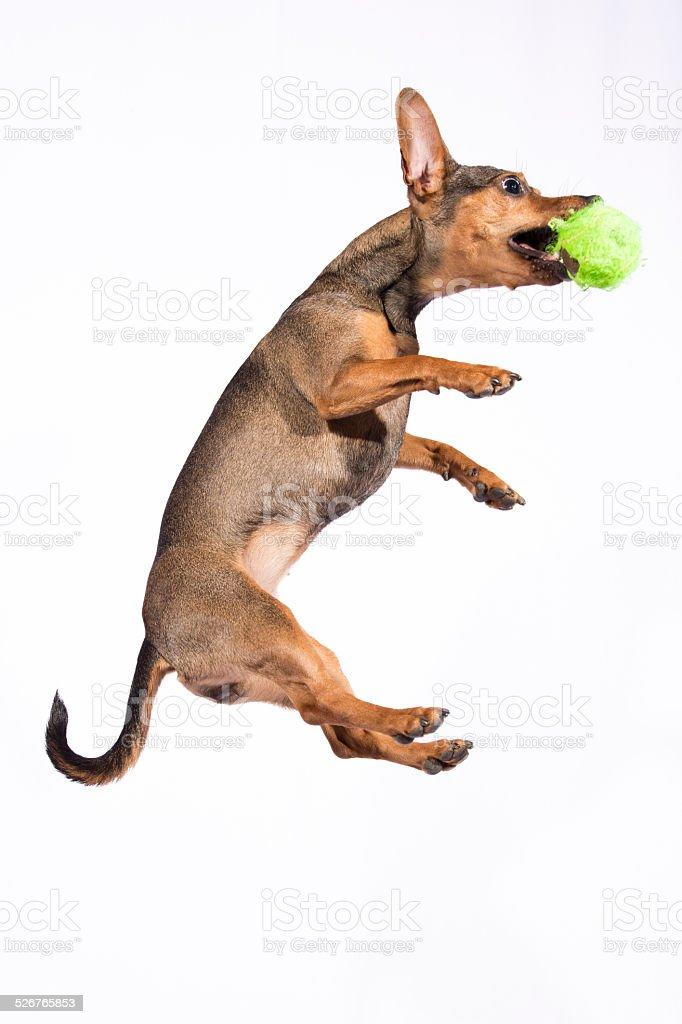 jumping sausage dog #2 stock photo
