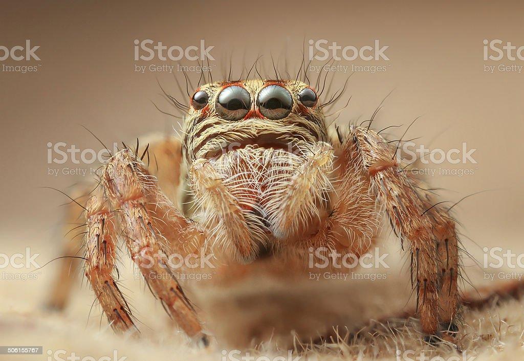 Jumping spider Carrhotus viduus sp: stock photo