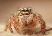 Jumping spider Carrhotus viduus sp: