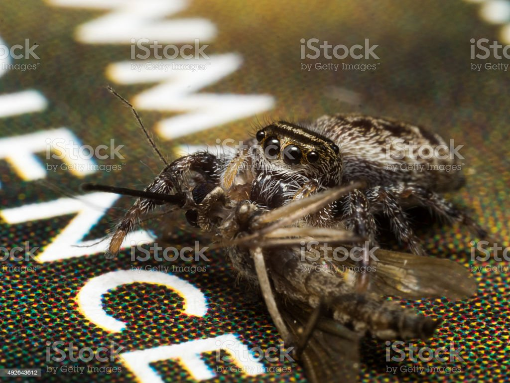 Jumping spider eats mosquito on magazine with large white letter stock photo