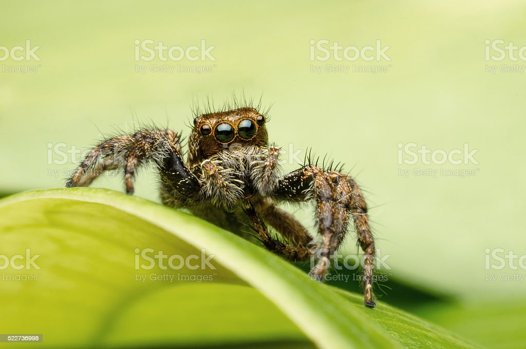 Jumping spider in natural environment stock photo