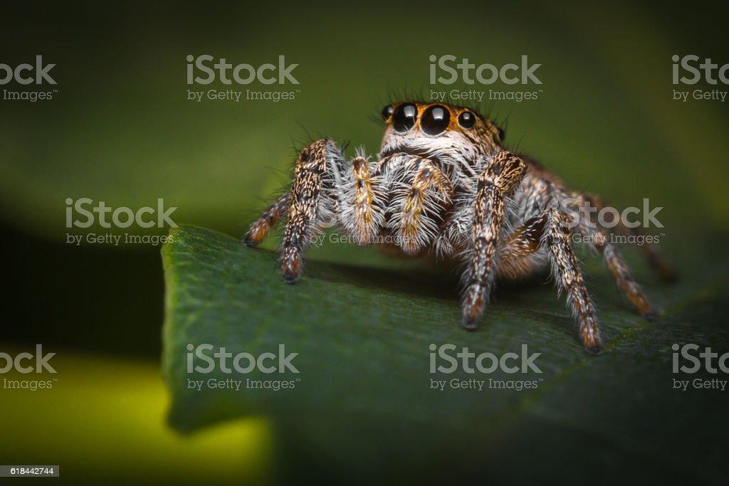Jumping Spider Macro stock photo