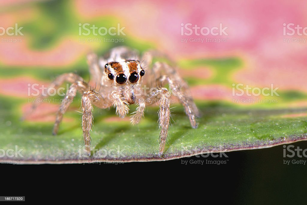 Jumping spider royalty-free stock photo
