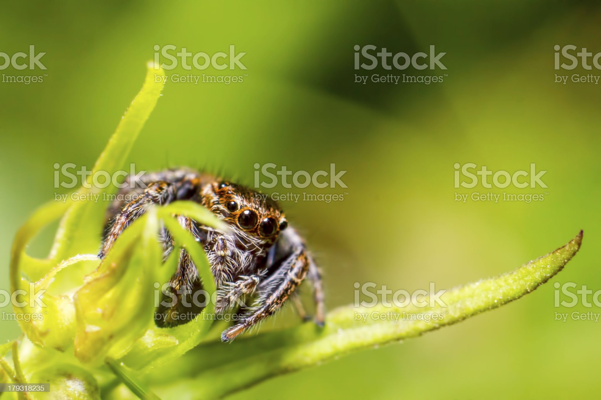 Jumping Spider, Salticus scenicus royalty-free stock photo