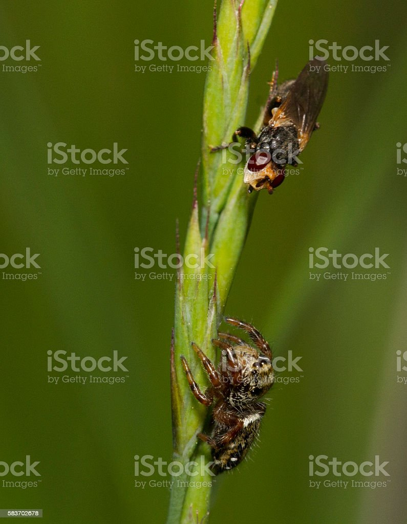 Jumping Spider vs Fly stock photo