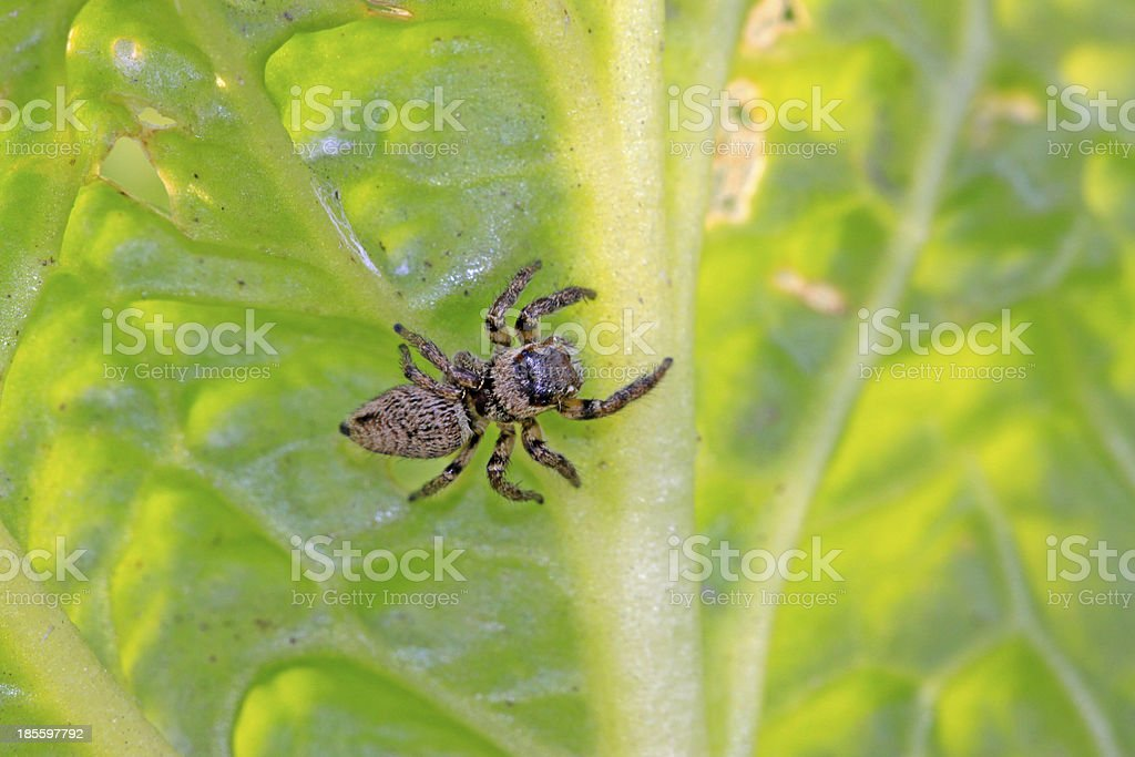 jumping spiders royalty-free stock photo
