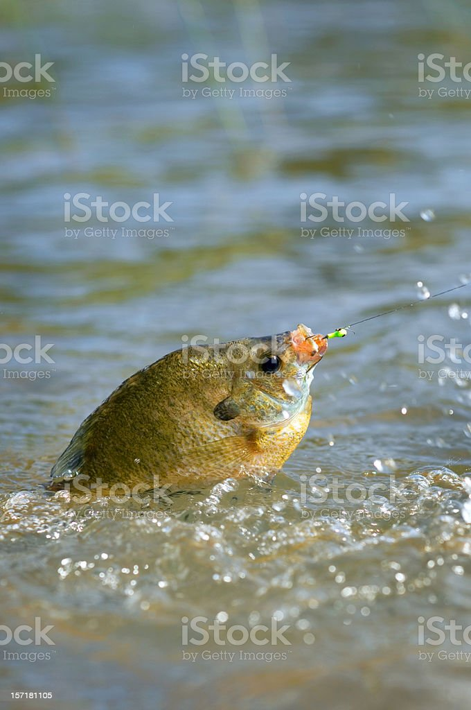 jumping sunfish, caught on a jig stock photo