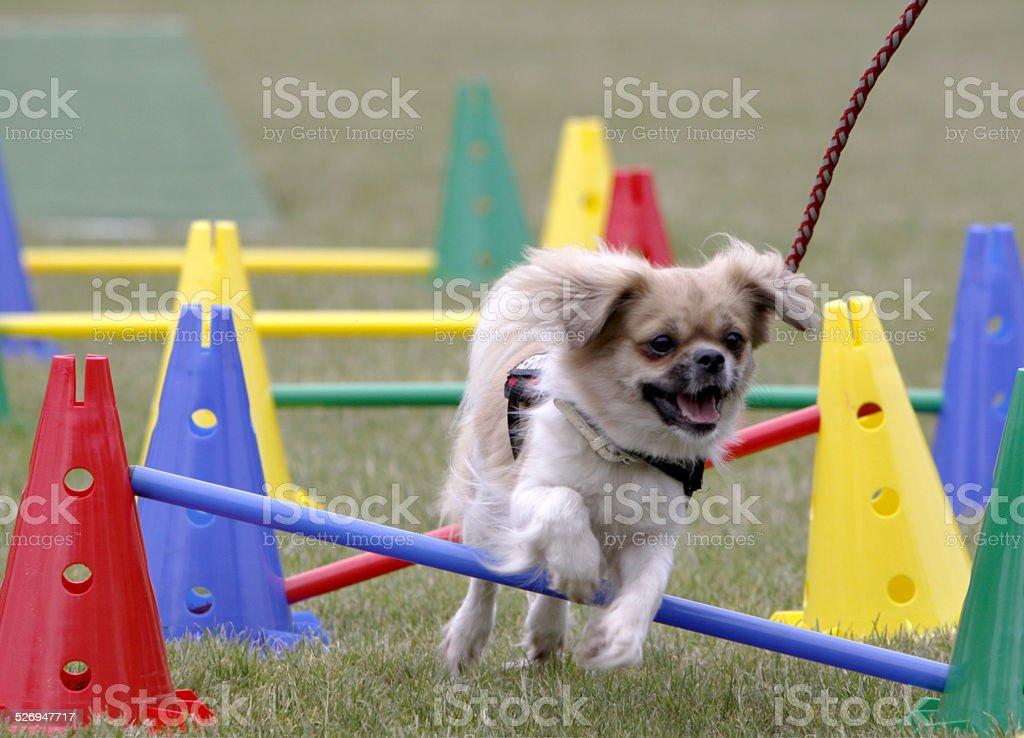 Jumping Tibetan Spaniel stock photo
