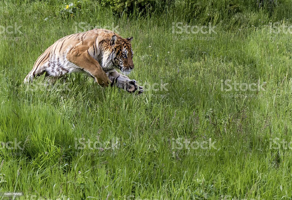 Jumping Tiger stock photo