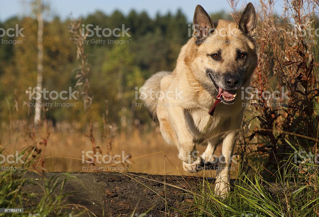 Jumping West Siberian laika (husky) royalty-free stock photo
