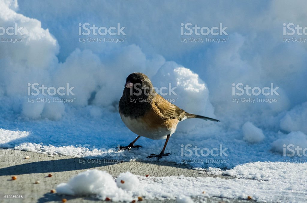 Junco in the Snow Final stock photo