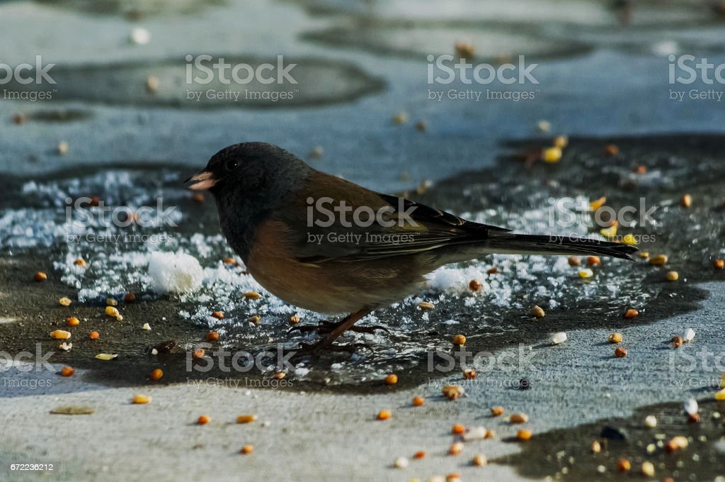 Junco Searching Final stock photo