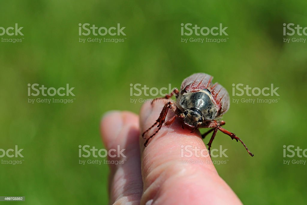 June bug crawling on a finger stock photo