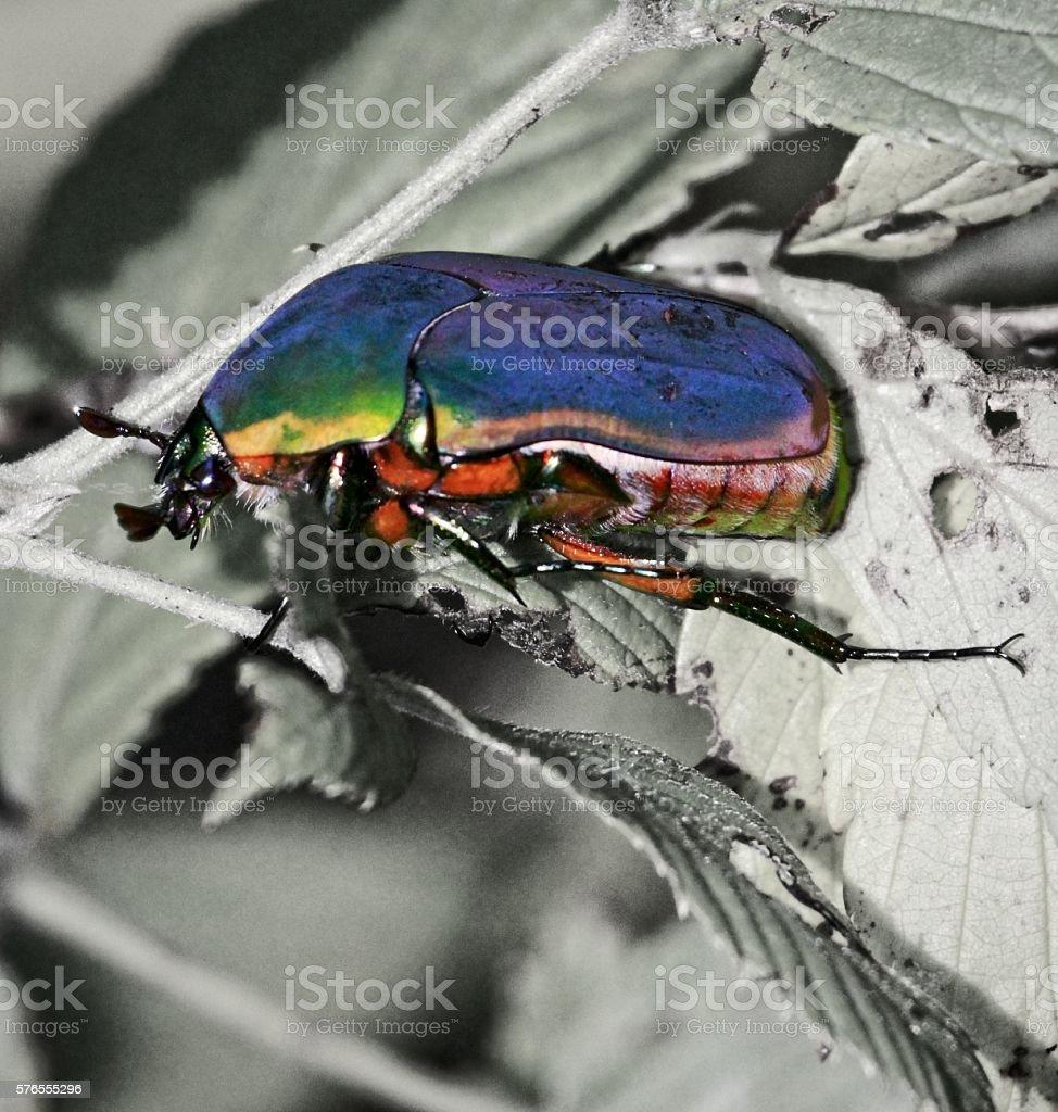 June bug stock photo