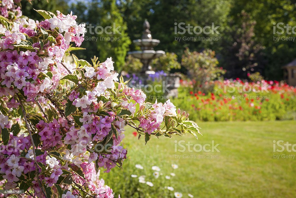 June garden with blooming weigela stock photo