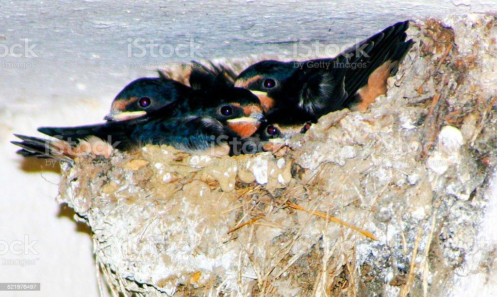 Junge Schwalben im Nest stock photo